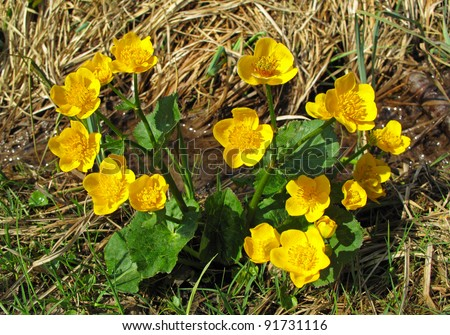 Beautiful spring flower Caltha palustris – Kingcup or Marsh Marigold. - stock photo