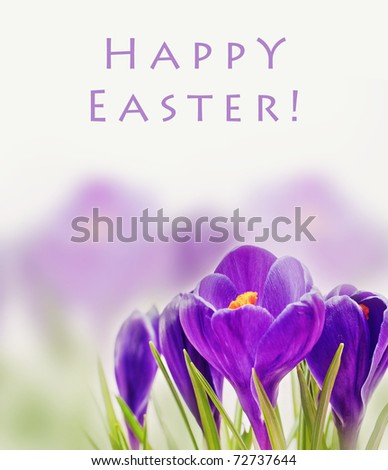 beautiful spring flower, crocus card for text - stock photo