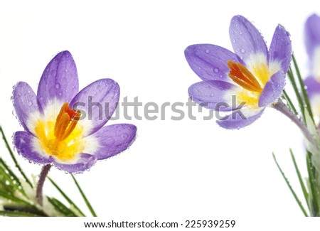 Beautiful spring flower Crocus Tricolor in the Iris family, macro with narrow focus - stock photo