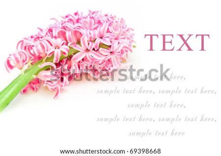 beautiful spring flower, hyacinth card for your text - stock photo