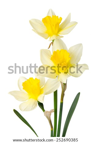 Beautiful spring flower isolated on a white background - stock photo