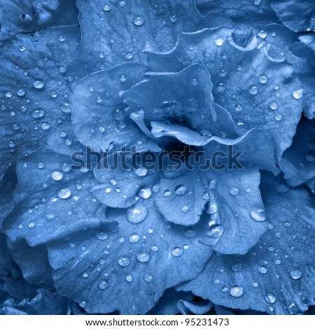beautiful spring flower wet with dew drops, in blue tone - stock photo