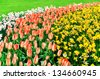 Beautiful spring flowers background in Keukenhof park in Netherlands (Holland) - stock photo