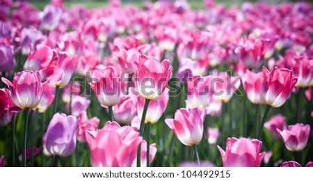 Beautiful spring flowers. Background with Tulips.