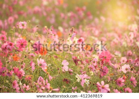 Beautiful spring flowers , Cosmos flowers blooming in the garden - stock photo