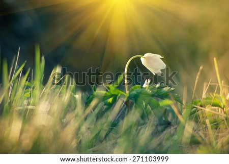 Beautiful spring flowers  in the mountains, glowing by sunlight. - stock photo