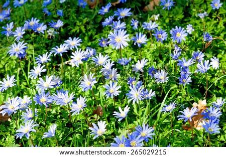 Beautiful spring garden flowers - Anemone blanda  - stock photo