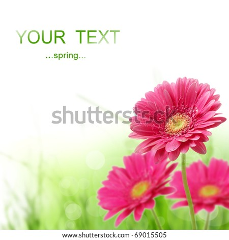 Beautiful Spring Gerber Flowers - stock photo