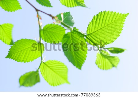 beautiful spring green leaves of beech - stock photo