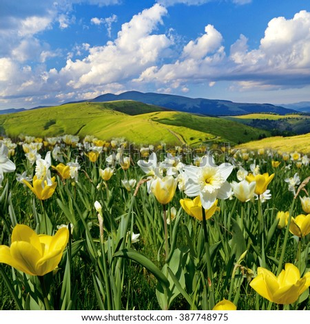 Beautiful spring landscape with daffodils against the sky with clouds - stock photo