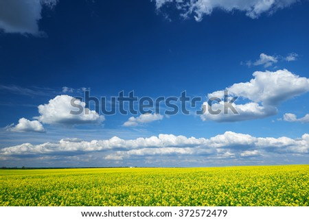 Beautiful spring landscape, yellow flower in rapeseed field  - stock photo