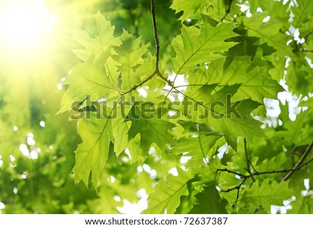 beautiful spring leaves of maple tree and rays of light - stock photo