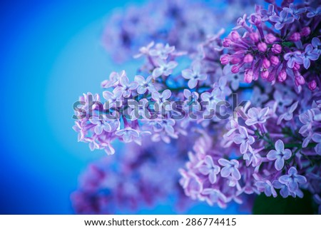 beautiful spring lilac on a blue background - stock photo