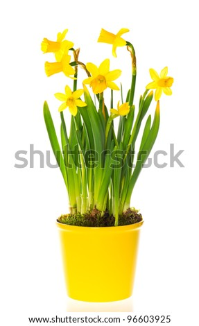 beautiful spring narcissus flowers in pot on white background - stock photo
