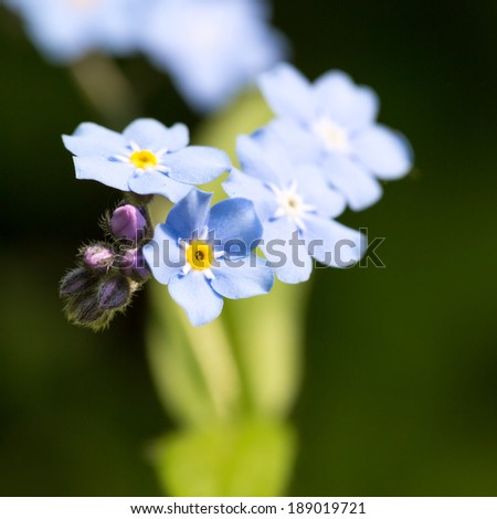 Beautiful spring nots,floral background,macro photography
