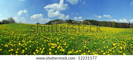 Beautiful spring panoramic shot with a dandelion meadow - stock photo