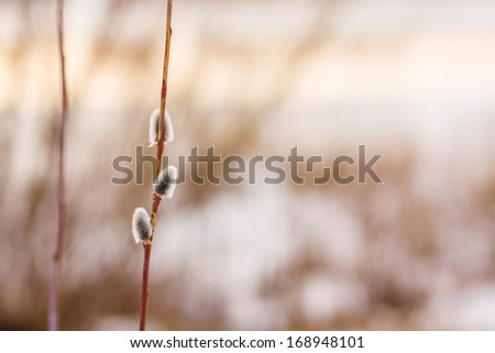 Beautiful Spring Pussy Willow's Twigs, Pussy-willows, Catkins Flowers Branches. - stock photo