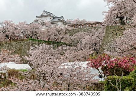 Beautiful spring scenery of a majestic Japanese castle surrounded by amazing sakura cherry blossoms in Tsuyama, Okayama, Japan - stock photo