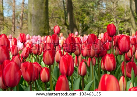 Beautiful spring tulip flowers in Keukenhof park in Netherlands (Holland) - stock photo