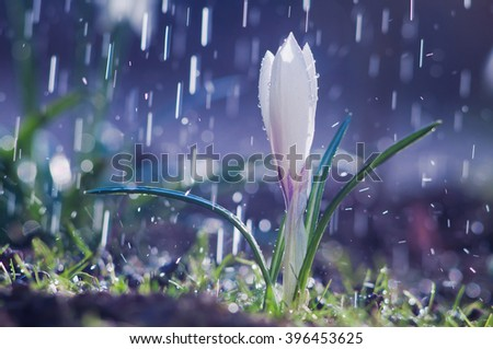 Beautiful spring white crocus in the spring rain
