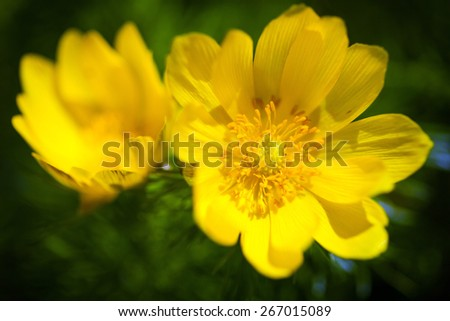 Beautiful spring yellow flowers  Pheasant's eye (Adonis vernalis)