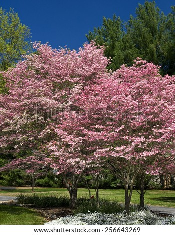 Beautiful Springtime Dogwood Trees Vertical - stock photo
