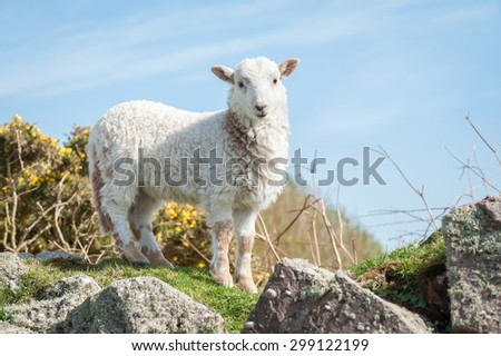beautiful springtime lamb standing on a stone wall - stock photo