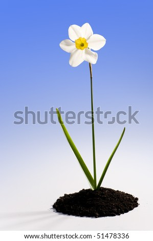 Beautiful springtime narcissus white on a blue background