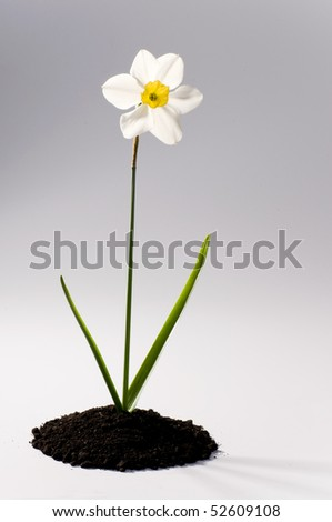 Beautiful springtime narcissus white on a grey background