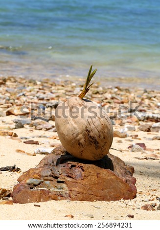 beautiful sprouting a coconut on the beach - stock photo