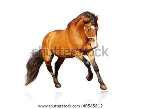 beautiful stallion galloping - stock photo