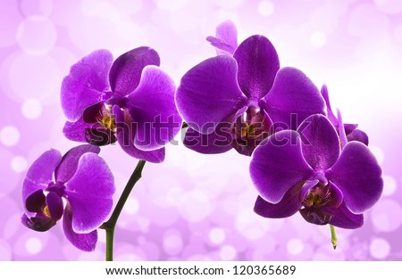 Beautiful stem of vibrant purple colored orchid flowers isolated on blur background. - stock photo