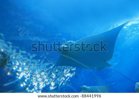 beautiful stingray in the blue ocean - stock photo