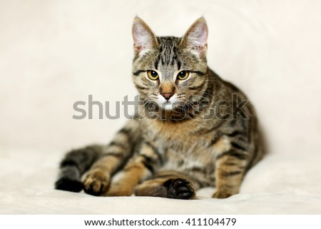 Beautiful striped cat sits on gray background - stock photo