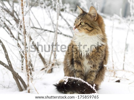 beautiful striped cat sitting in the snow - stock photo