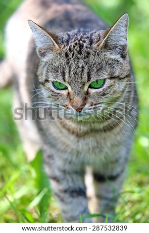 Beautiful striped cat with green eyes. Adult gray tabby cat is outdoor. Green summer blurred background with natural bokeh.
