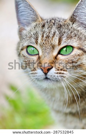 Beautiful striped cat with green eyes. Adult gray tabby cat is outdoor. Green summer blurred background with natural bokeh. - stock photo