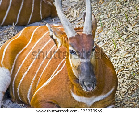 Beautiful striped Gazelle with horns - stock photo