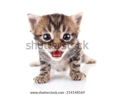 beautiful striped kitten crying on white background