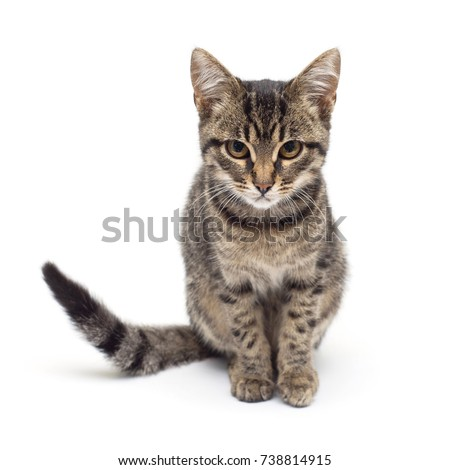 Beautiful striped kitten of gray isolated on white background. The cat is carefully posing for the camera. Place for text. Tiger color