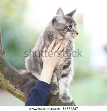 beautiful striped maine coon cat in nature and hands of people - stock photo
