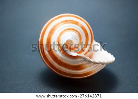 Beautiful striped spiral seashell on a dark background. - stock photo