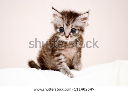 Beautiful stripy grey little kitten - stock photo