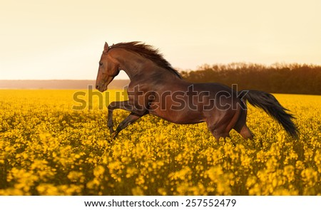 Beautiful strong horse galloping, jumping in a field of yellow flowers of rape against the sunset. Stallion lit by sunlight. - stock photo