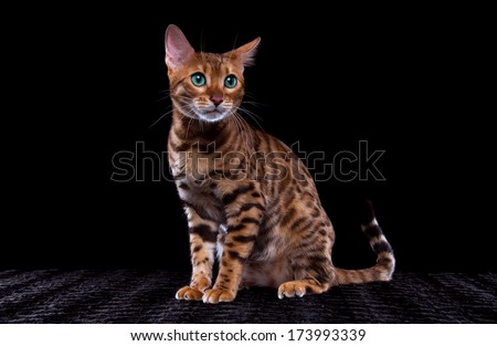 Beautiful stylish Bengal cat. Animal portrait. Bengal cat is lying. Black background. Collection of funny animals - stock photo