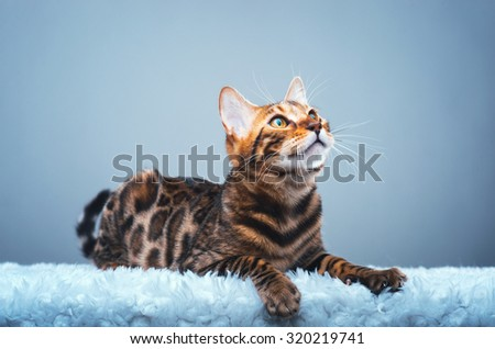 Beautiful stylish Bengal cat. Animal portrait. Bengal cat is lying. Blue background. Collection of funny animals - stock photo