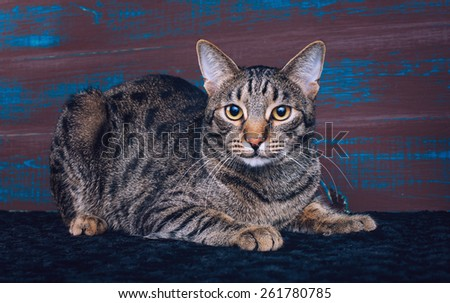 Beautiful stylish Bengal cat. Animal portrait. Bengal cat is lying. Wood background. Collection of funny animals - stock photo