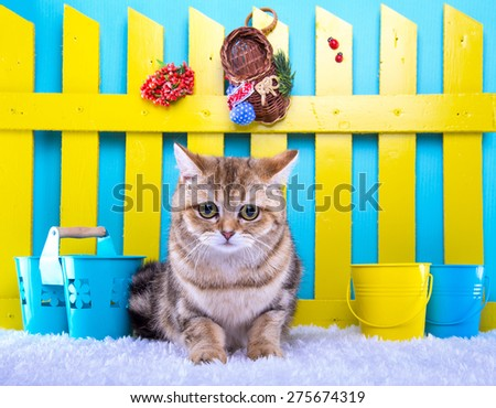 Beautiful stylish british cat. Animal portrait. British cat is lying. Blue background. Colorful decorations. Collection of funny animals - stock photo