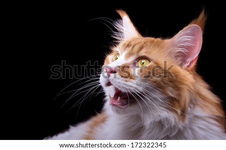 Beautiful stylish Main Coon cat. Animal portrait. Main Coon cat is standing. Black background. Colorful decorations. Collection of funny animals - stock photo
