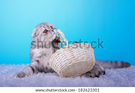 Beautiful stylish purebred british cat. Animal portrait. Purebred cat is lying. Blue background. Colorful decorations. Collection of funny animals